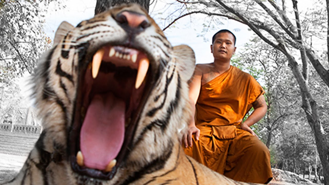 Tiger temple, Thailand, Tigers, Temple, Tourist